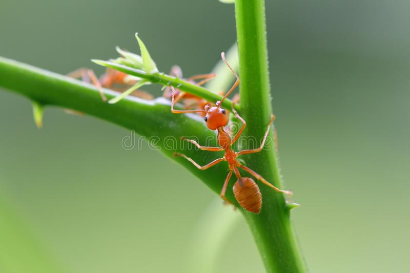 Red ant Oecophylla smaragdina. Action of ant on a tree stock photography