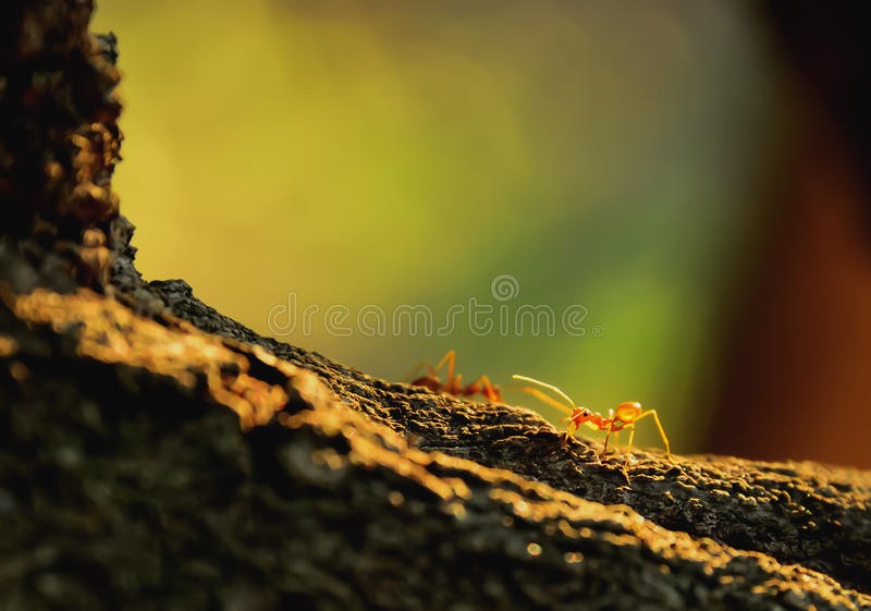 Red ant. Is perched on the branches. Then it opened its mouth to intimidate enemies royalty free stock photography