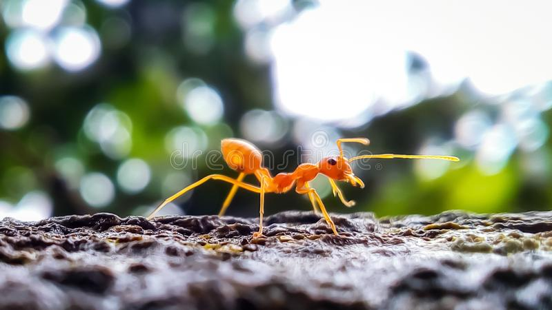 A red ant in sunlight with blur background. Dont, sunshine, redant, wallpaper, image, topimage, macro, template, animal, green, greenbackground stock images