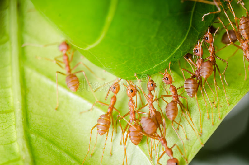 Red ant teamwork building home royalty free stock photos