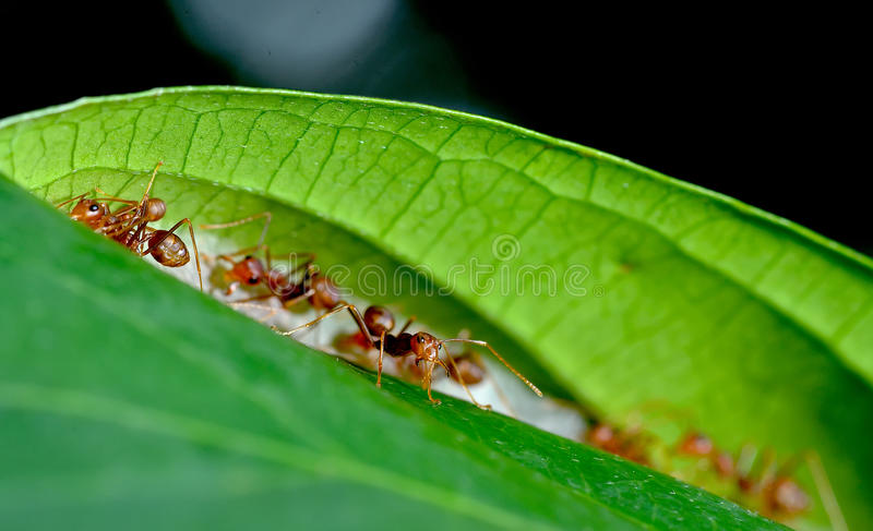 Red ant teamwork on green leaf royalty free stock images