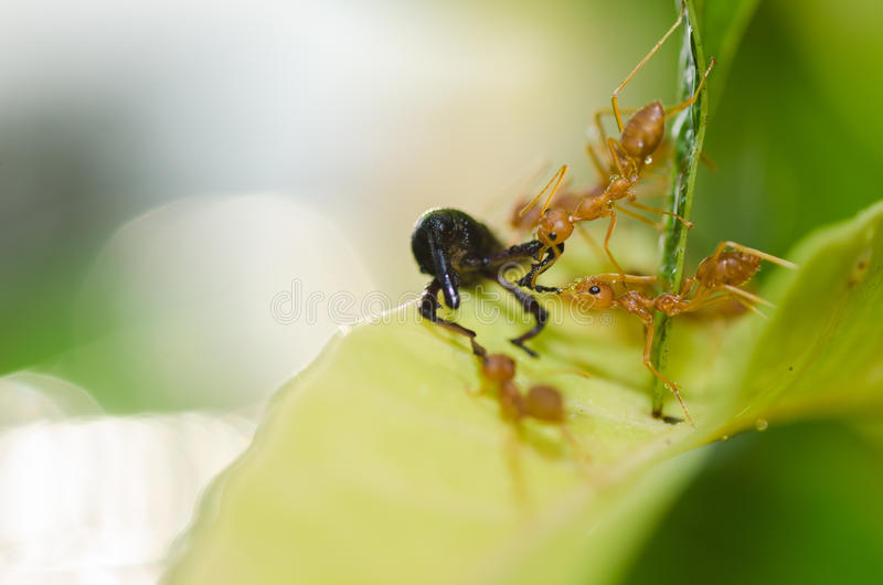 Red ant teamwork in green nature. Or in the garden royalty free stock photo