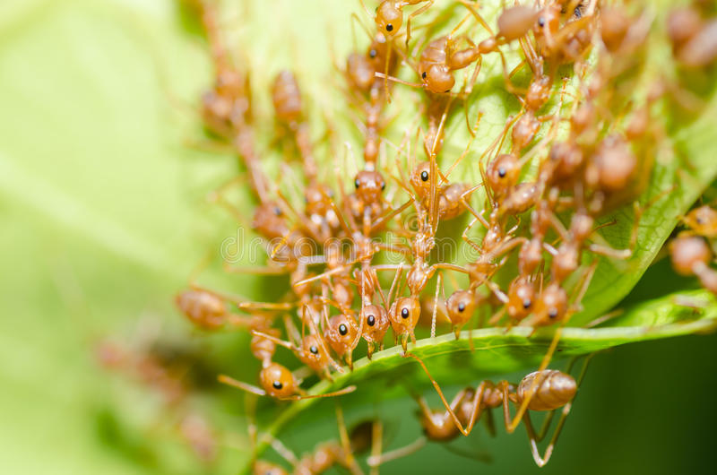 Red ant teamwork in green nature. Or in the garden stock photography
