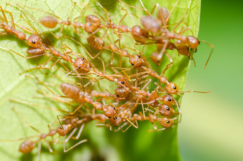 Red ant teamwork in green nature. Or in the garden stock photo