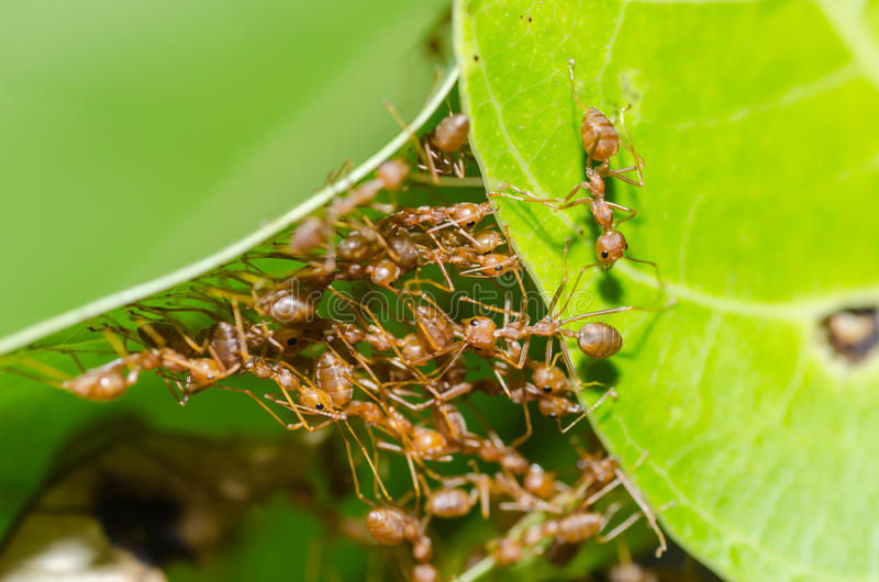 Red ant teamwork in green nature. Or in the garden royalty free stock images