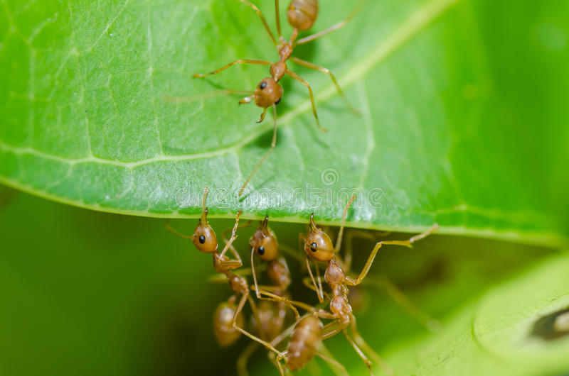 Red ant teamwork in green nature. Or in the garden royalty free stock image