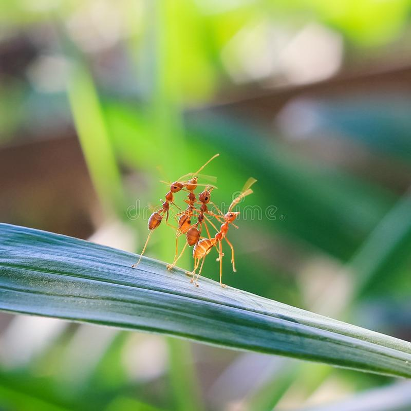 Red ant teamwork in green nature royalty free stock images