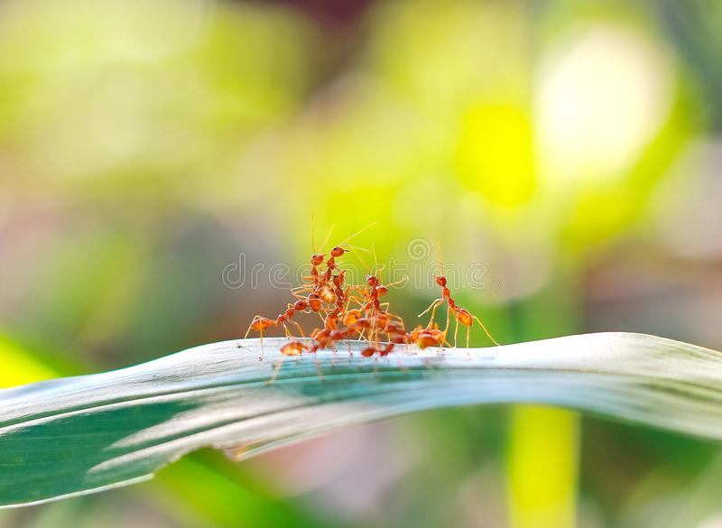 Red ant teamwork in green nature. Or in the garden stock image