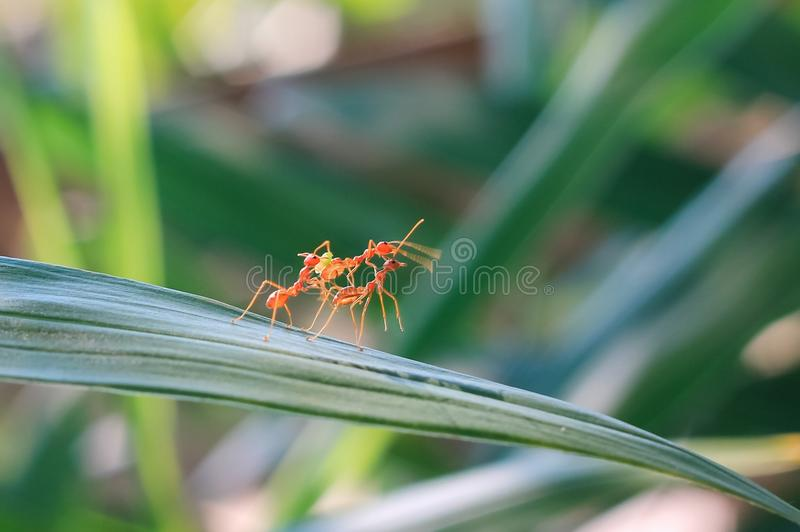 Red ant teamwork in green nature stock photos