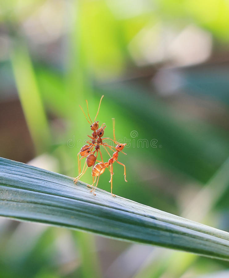Red ant teamwork in green nature royalty free stock photography