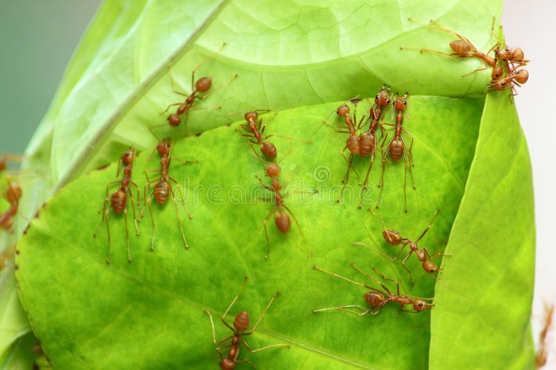 Red ant. Teamwork for the job in nature royalty free stock images
