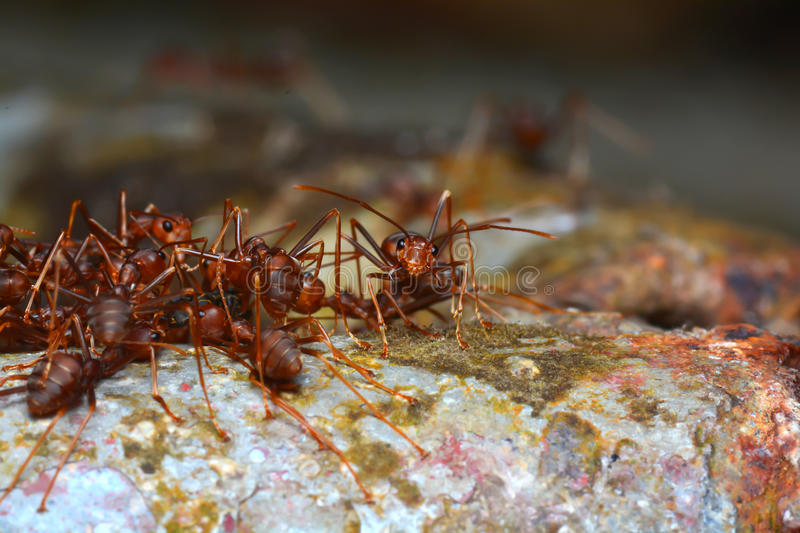 Red ant teamwork in nature. Red ant teamwork in the nature motion blur stock photography