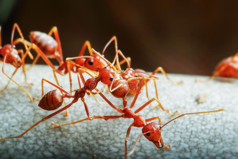 Red ant and teamwork stock images