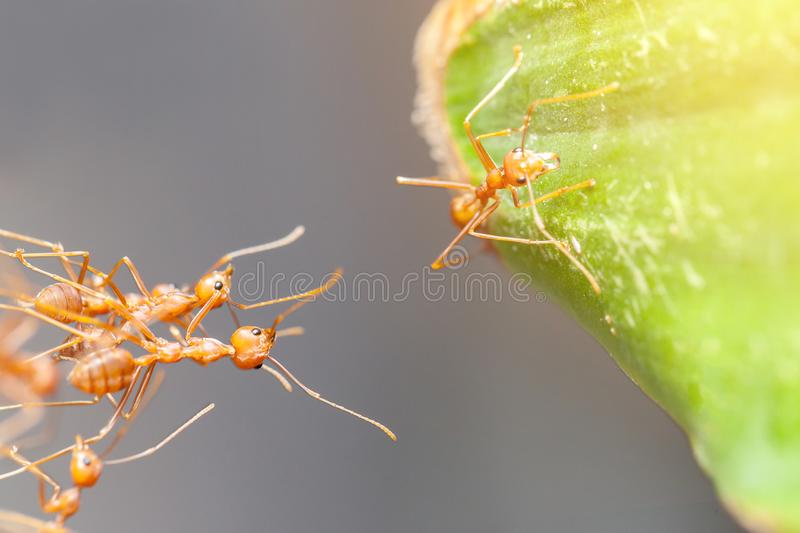 Red ant teamwork royalty free stock photography