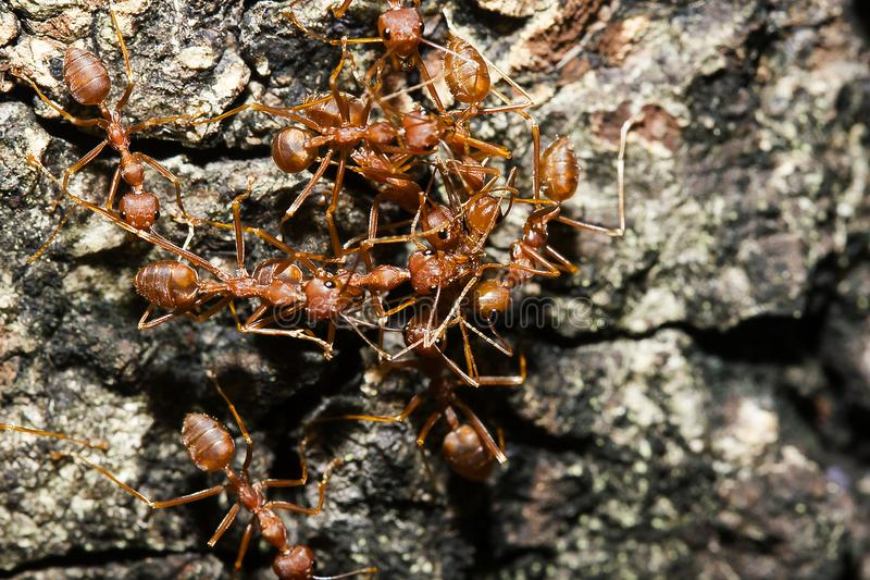 Red ant on the tree. Red ants on the tree, the name of the species Oecophylla smaragdina in the family Formicidae stock photos