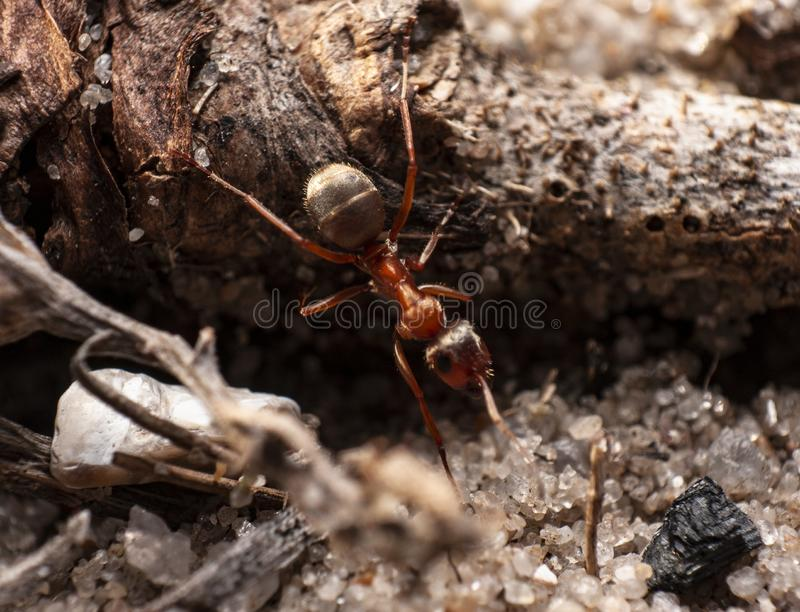 Red ant is very small. stock image
