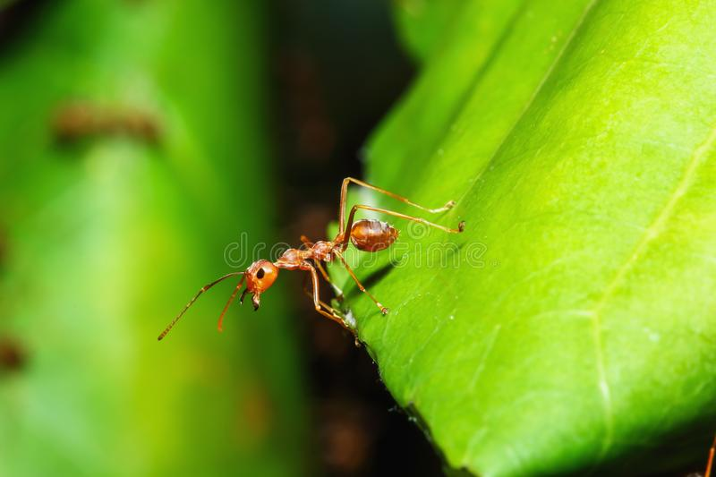 Red ant walk on a green leaf ,macro nature stock photo
