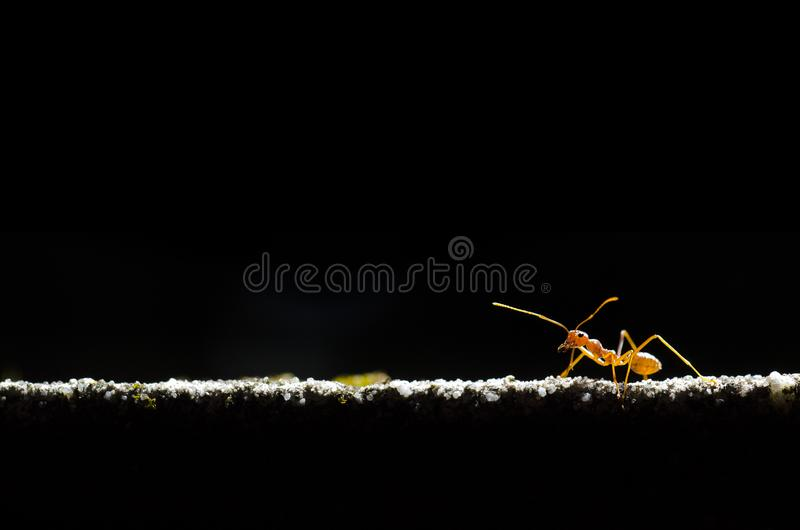 Red ant. The red ant walking on the wall, lighting, black background stock images