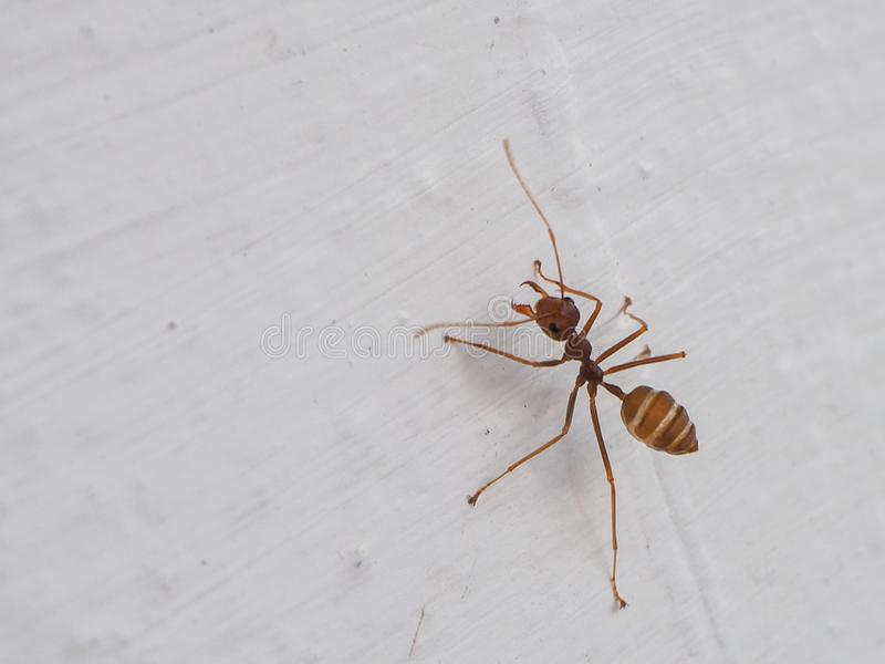 Red ant on the wall royalty free stock image