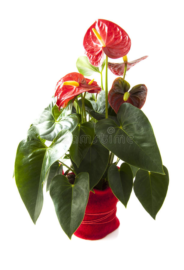Red anthurium. In red flowerpot isolated over white stock images