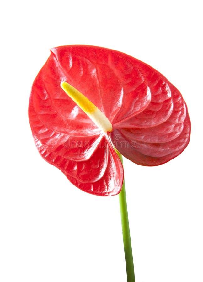Red anthurium stock photos