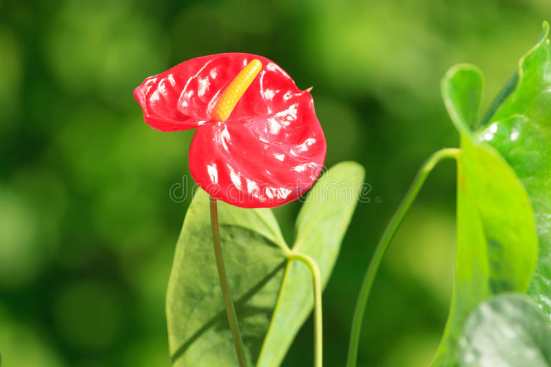 Red anthurium flower. In the garden stock images