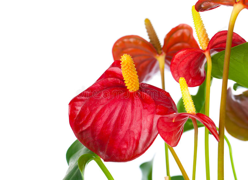 Red anthurium flower. Isolated on white background. common names include anthurium, tailflower, flamingo flower, and laceleaf royalty free stock images