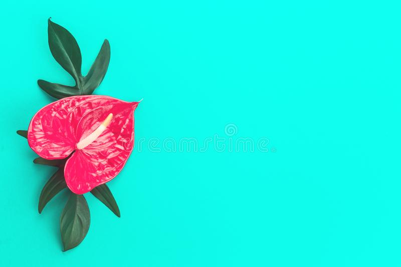 Red anthurium flower and leaves on mint stock image