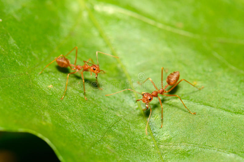 Red ants. Beautiful red ants (Oecophilla smaragdina fabricius) protecting green leaf stock photos