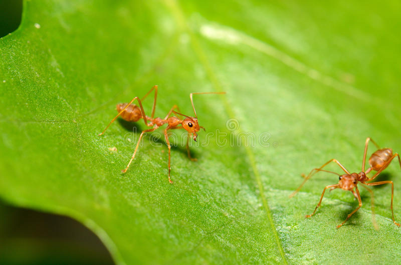 Red ants. Beautiful red ants (Oecophilla smaragdina fabricius) protecting green leaf royalty free stock image