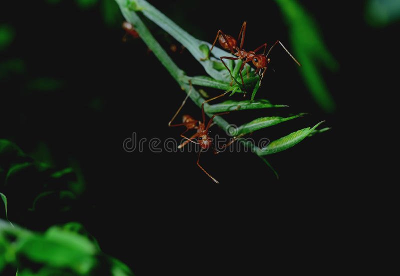 Red ants. Red Ant is perched on the branches. Then it opened its mouth to intimidate enemies stock image