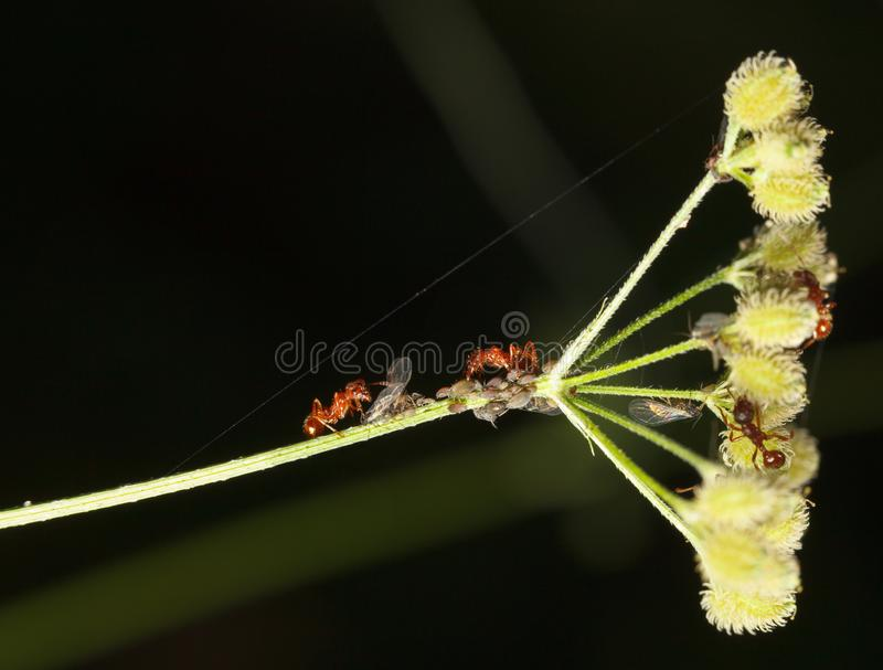 Red ants and aphids. Red ants herds greenfly or aphids colony on grass stem stock images