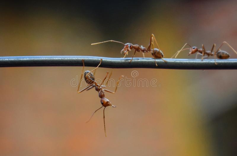Red ants blur background. Animal, insect, blurs, bokrh, bokeh stock images