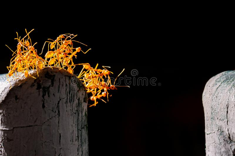 red ants bridge between fence and carry food , good teamwork stock images