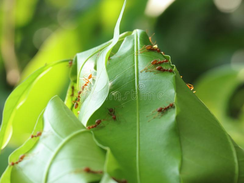 Red ants building leaves nest. stock image