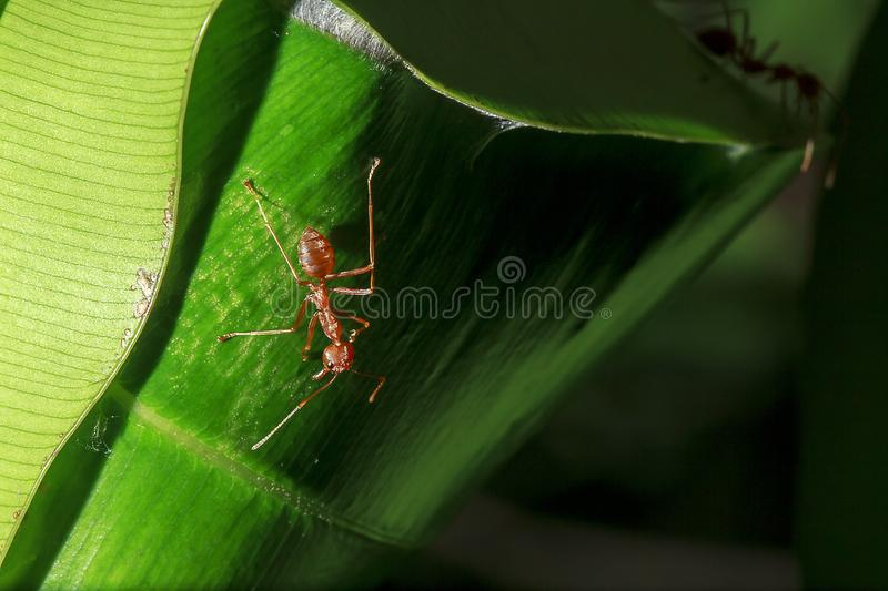 Red ants are on the leaves in nature. Make a nest on the tree using a white sticky fiber, connect the leaves close together into a circular nest royalty free stock photography