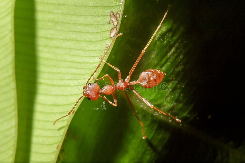 Red ants are on the leaves in nature. Make a nest on the tree using a white sticky fiber, connect the leaves close together into a circular nest stock image