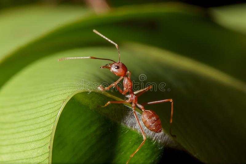 Red ants are on the leaves in nature. Make a nest on the tree using a white sticky fiber, connect the leaves close together into a circular nest royalty free stock image