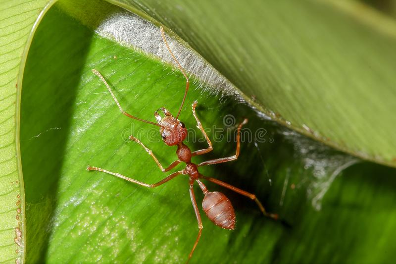 Red ants are on the leaves in nature. Make a nest on the tree using a white sticky fiber, connect the leaves close together into a circular nest royalty free stock photo