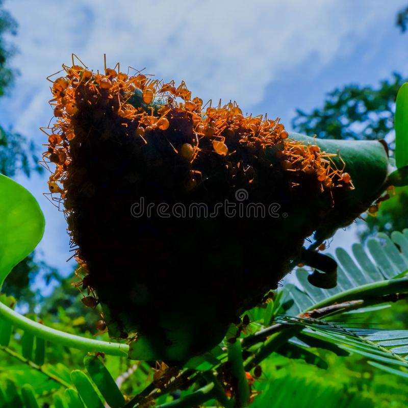 Red ants make nests with leaves, on green plants royalty free stock photos