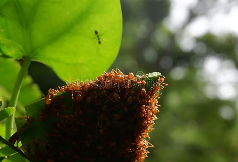 Red ants make nests with leaves, on green plants royalty free stock photo