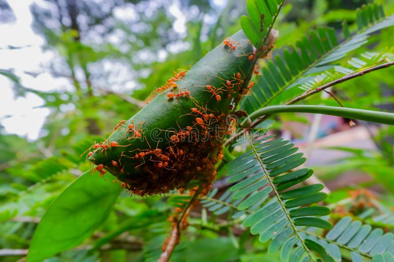 Red ants make nests with leaves, on green plants stock photography