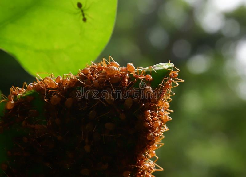 Red ants make nests with leaves, on green plants stock photo