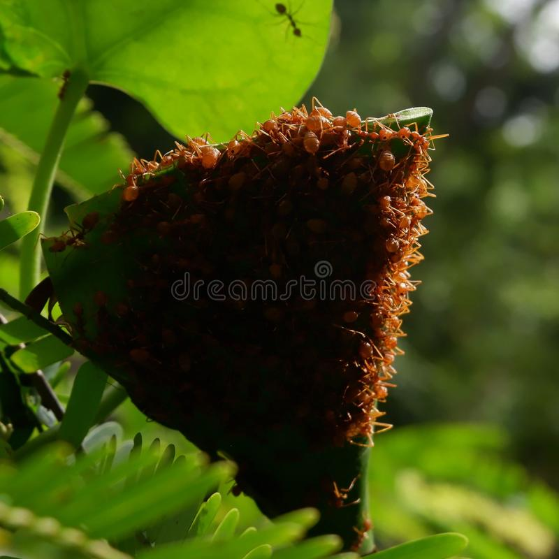 Red ants make nests with leaves, on green plants stock image