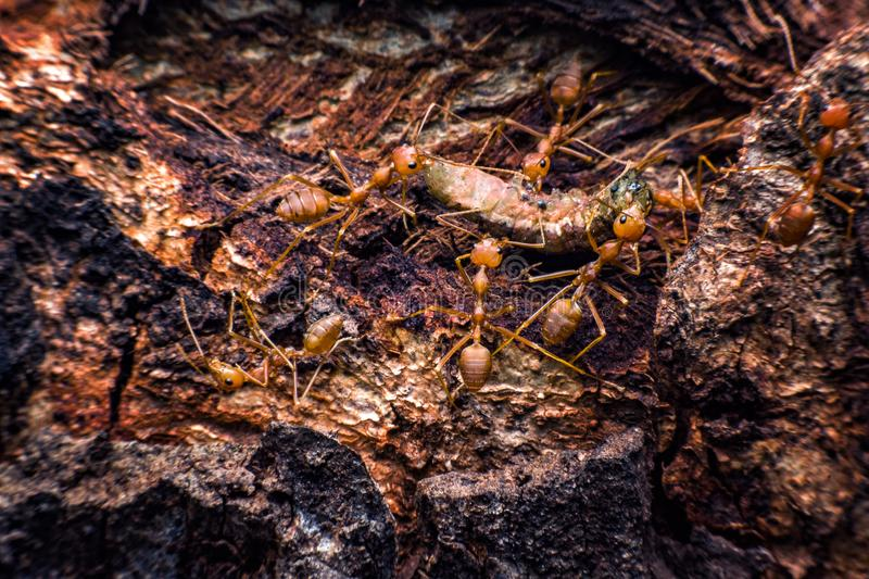 Red ants are moving dies worms to its nest stock photo