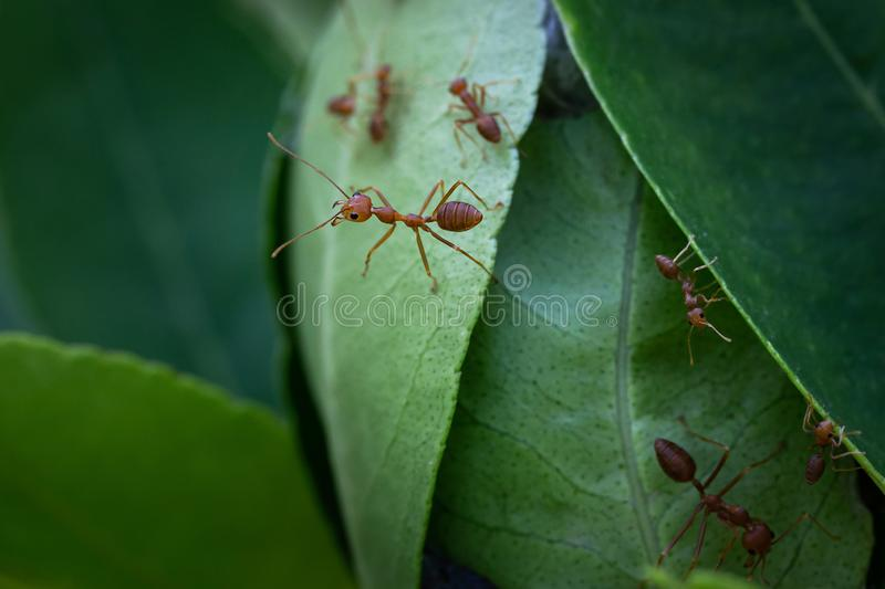 Red ants on a nest made of leaves stock photo