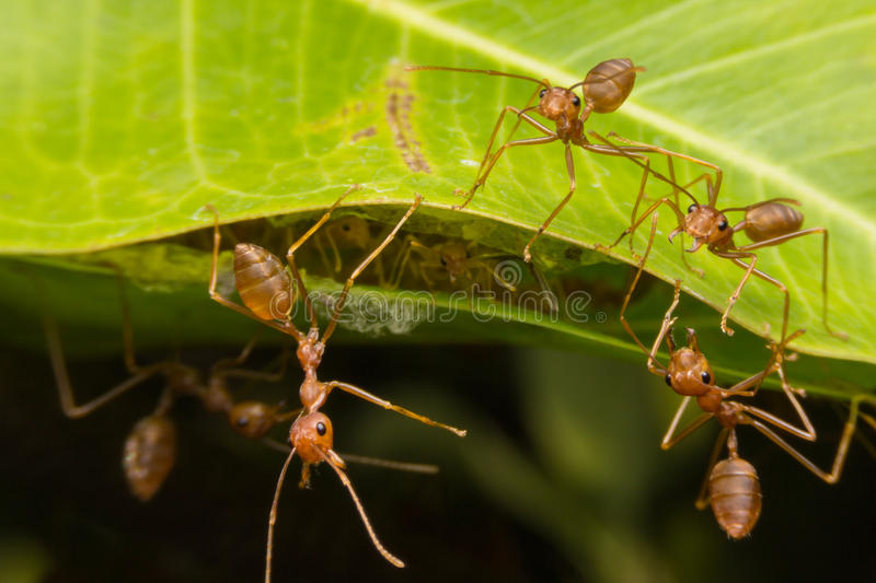 Red ants nest to nest together. Teamwork concept stock photos