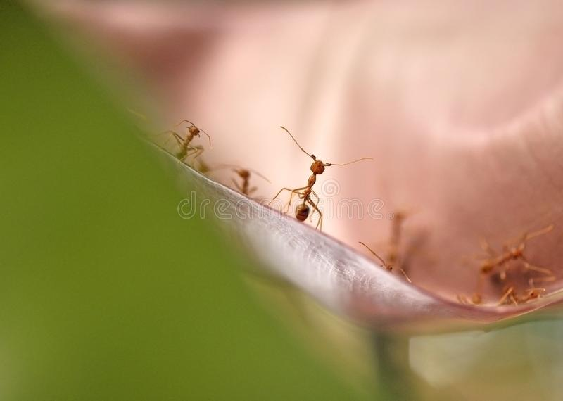 Red ants standing face to face on the leaf royalty free stock image