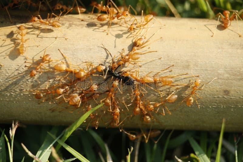 Red ants teamwork hunt black ant stock images