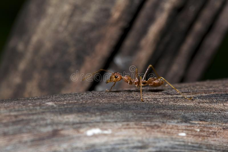 Red ant on the tree. Red ants on the tree, the name of the species Oecophylla smaragdina in the family Formicidae royalty free stock photography